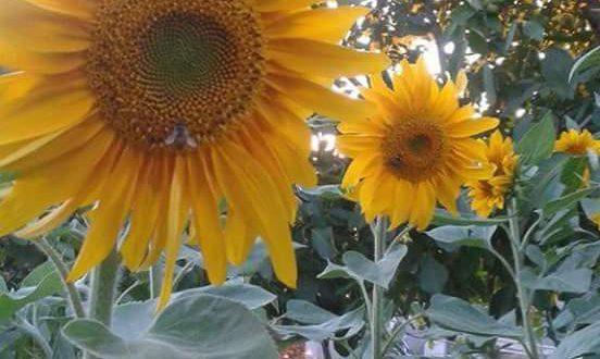 لب عباد الشمس و فوائد صحية لا تحصى