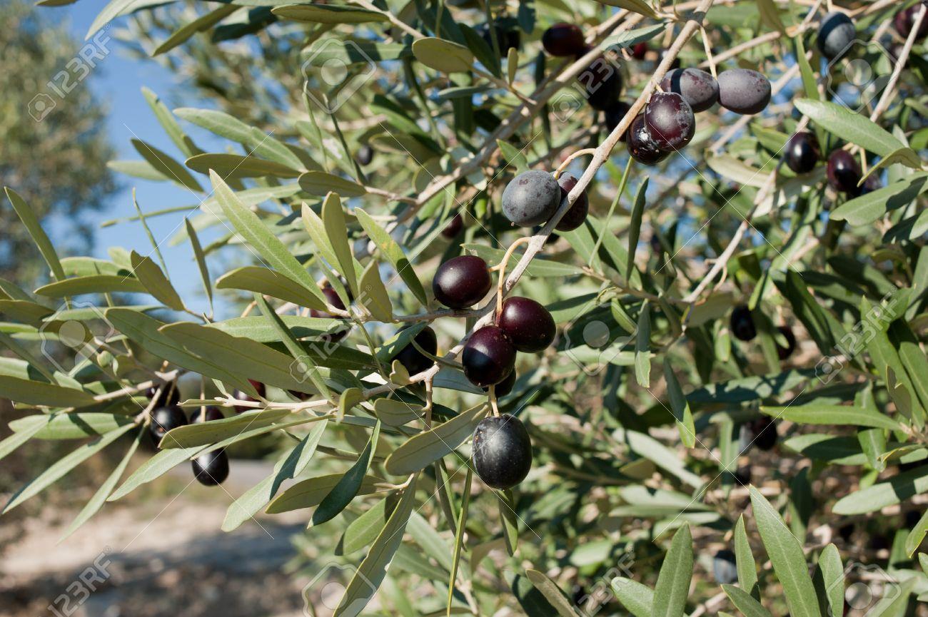 فوائد أوراق الزيتون للصحة والجسم