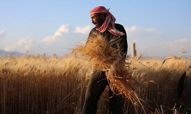البذور السورية تنقذ القمح الأميركي