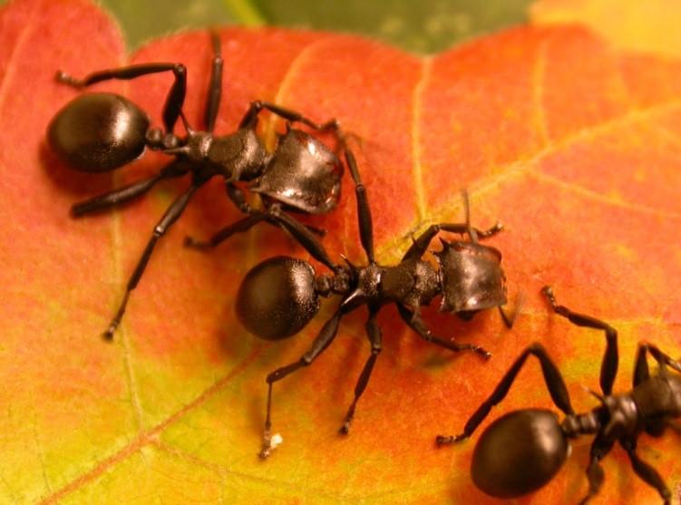 كيف تطورت النباتات لاستخدام النمل في الدفاع عنها