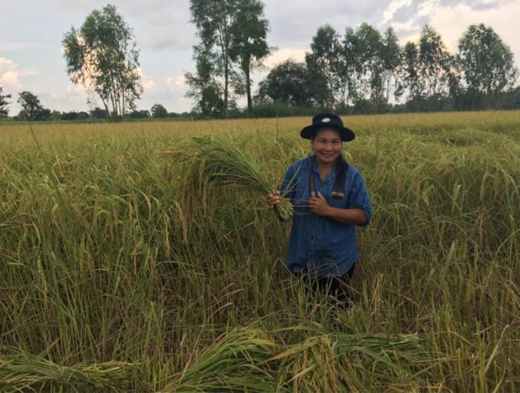 الطريقة المعجزة لإنتاج الأرز المستدام والحصول على غلال أكبر