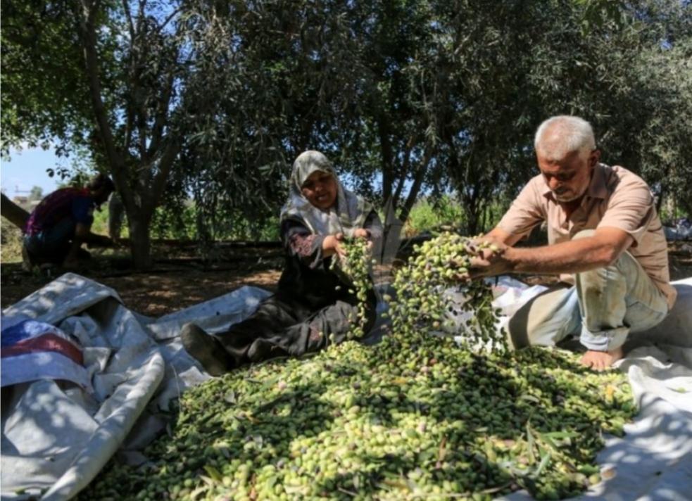 مناطق قطف الزيتون مواقع لمواجهات متكررة بين الفلسطينيين والمستوطنين الإسرائيليين