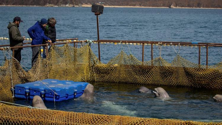 روسيا تحرر آخر الحيتان المحتجزة