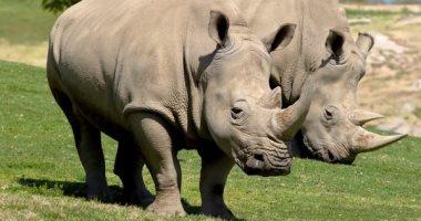 نفوق أكبر أنثى وحيد قرن في العالم بتنزانيا عن 57 عاما