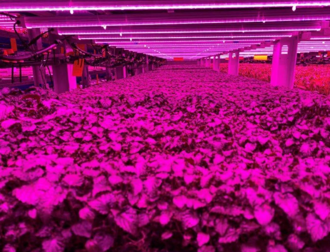 أزمة كورونا نعمة لا نقمة على مزارع الإمارات