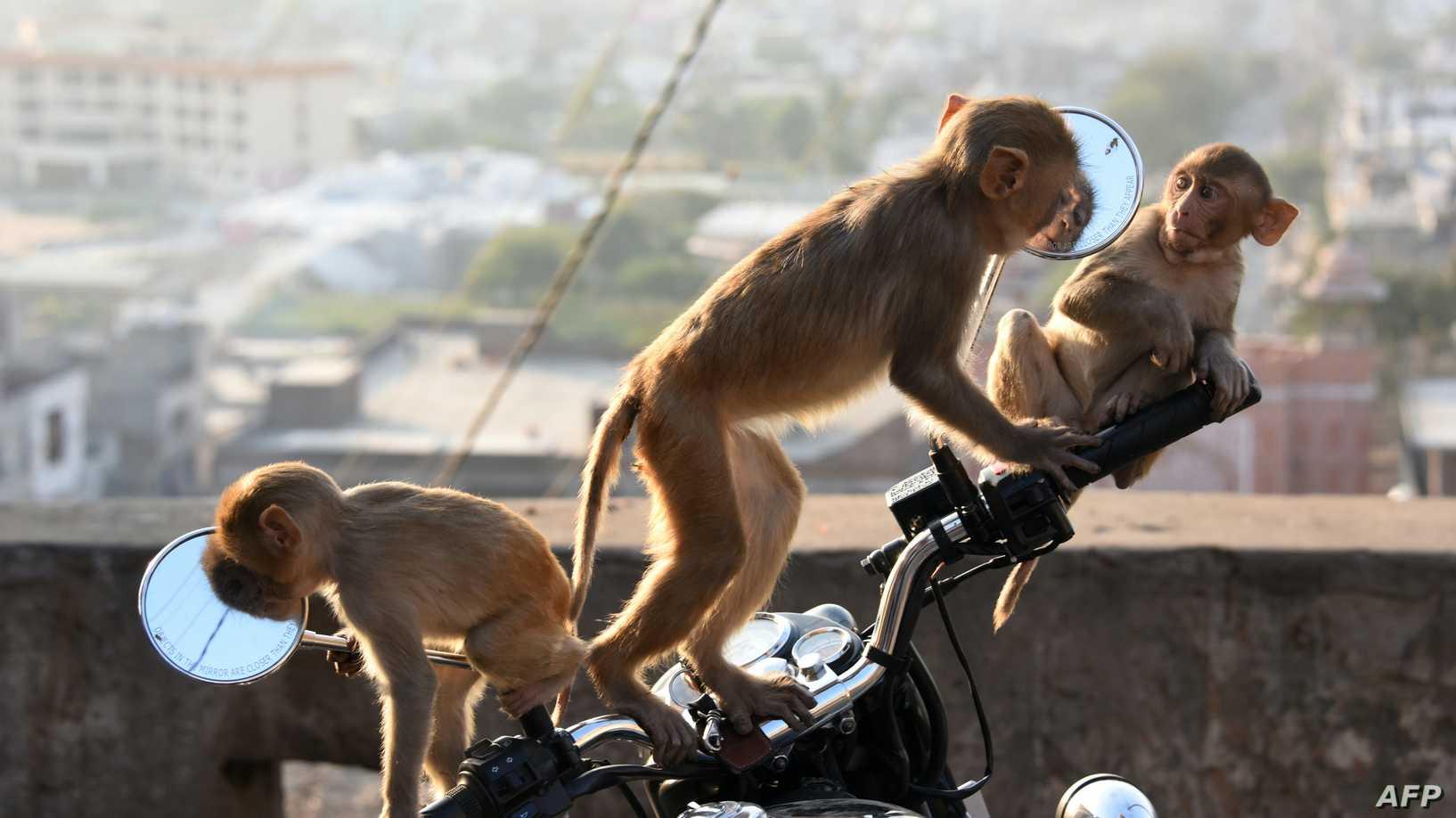 القرود تسرق عينات دم مرضى كورونا في الهند