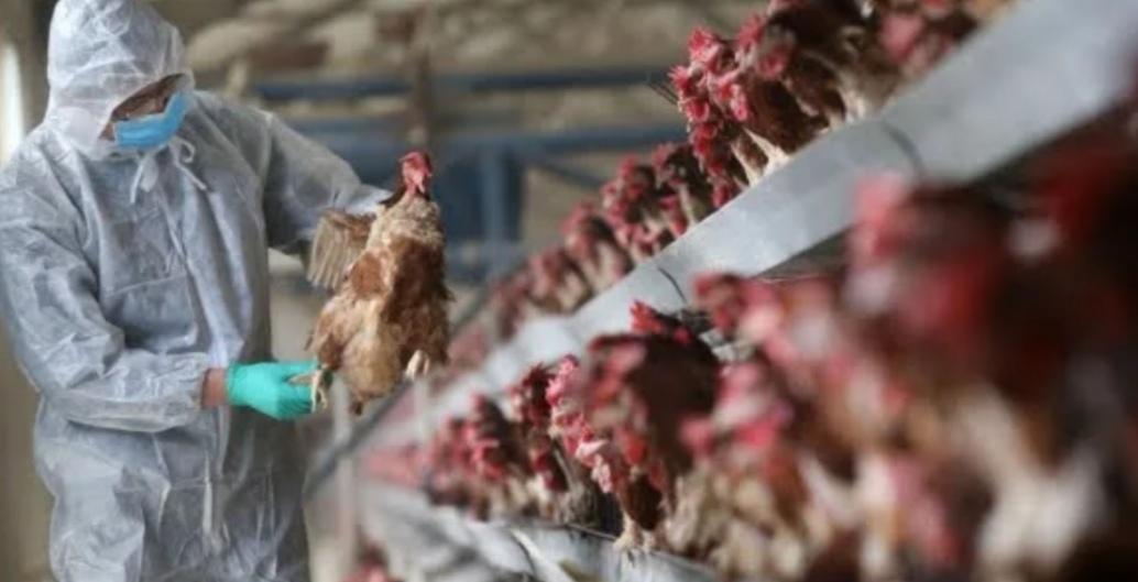غانا تعدم آلاف الدجاج وتحظر نقل الدواجن وسط تفش لإنفلونزا الطيور